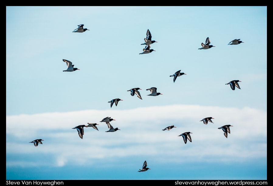 Iceland :: Birds